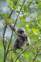 Silvery Gibbon - Hylobates moloch, beautiful primate endemic in Java forests, Indonesia.