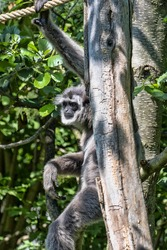 Silvery gibbon, Hylobates moloch, is very rare, with a small population of Java