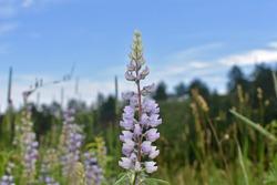 Silvery Lupine Flower in Meadow