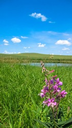 Silvery Lupine in a Prairie Meadow