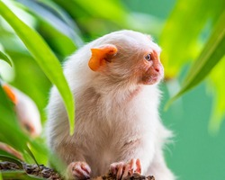 Silvery Marmoset white monkey in tropic rainforest tree