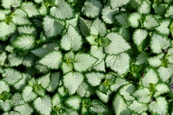 Silvery white with green edges leaves of Lamium maculatum - natural background. Lamium may be beautiful decoration of any garden or park, alpine slide or rockery. Groundcover ornamental plant