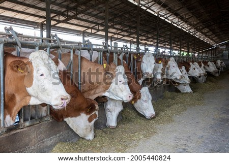 Simmental dairy cows on the farm. Dairy farm, simmental cattle, feeding cows on farm. Cows eating lucerne hay from manger on farm. Stock photo ©