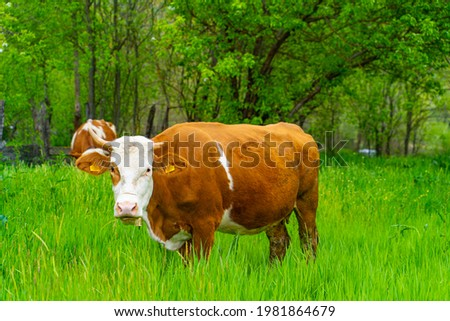 Simmental grazing dairy cows cattle farm Stockfoto ©
