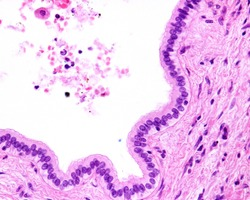 Simple columnar epithelium of a liver bile duct.