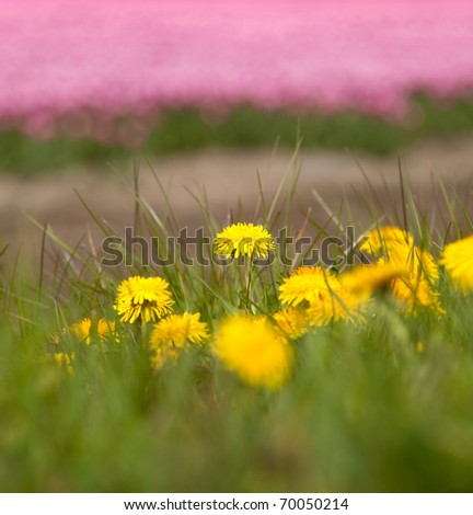 Simple dandelion flowers against a background of millions of Dutch tulips in springtime