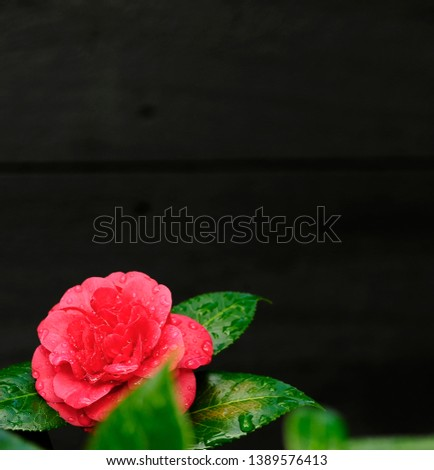 Simple Elegent Composition, with large Copy Space area.Pink, Red Camellia, Left Foreground with Charcoal Gray Background. #1389576413