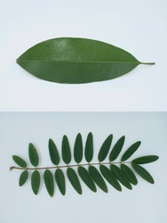 Simple leaves and Compound  leaves concept in Botany.