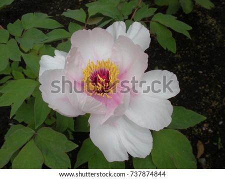 Simple Peony Blossom #737874844