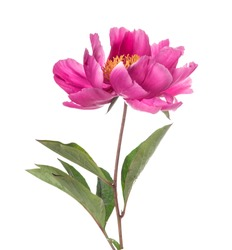 Simple pink peony flower, isolated ion white background