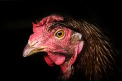 Simple Rooster Head, Isolated with black Background
