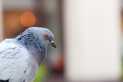 Simple static common grey pigeon bird head closeup detail, portrait shot from the side. Copy space on the right, blurry background, bokeh, selective focus. Birds in cities up close conceptual