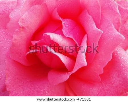 single white rose wallpaper. Single Pink Rose Wallpaper.