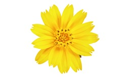 Singapore daisy flower, Yellow flower isolated on white background, with clipping path