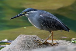 Singapore heron. Butorides striata Striated heron is very widespread small heron, common across much of the globe. Small size and overall gray color separates from most other herons and bitterns.
