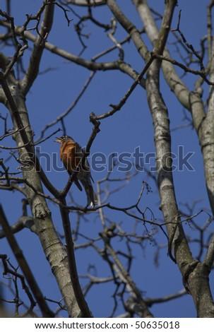 singing American robin