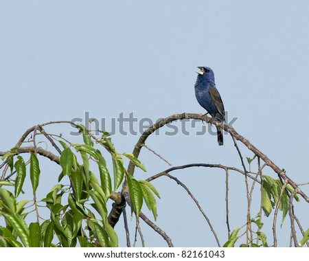 Singing Blue Grosbeak (Passerina caerulea)