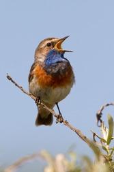 Singing Bluethroat on a branch