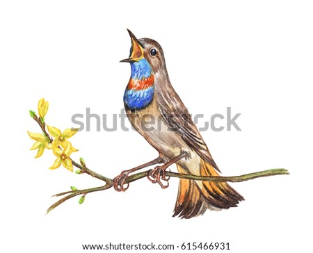 Stock Photo Singing Bluethroat on forsythia, watercolor illustration on a white background. A bird on a flowering branch, watercolor painting.