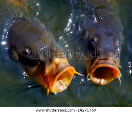 Singing carp fish coming out of the water