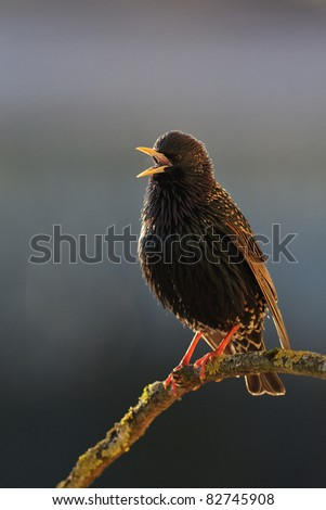 Singing male starling