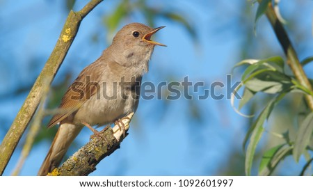 Singing nightingale. Singing bird in spring on a branch of tree. Thrush nightingale. Luscinia luscinia. Songbird with open mouth in springtime.