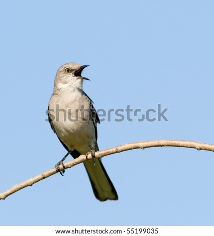 Singing Northern Mockingbird (Mimus polyglottos)