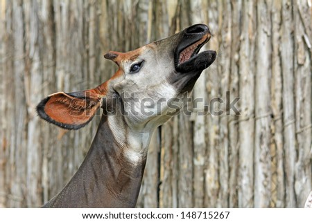 Singing okapi