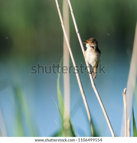 Singing Reed Warbler, Acrocephalus Scirpaceus, in its natural habitat in the reeds at the swedish island Oland #1106499554