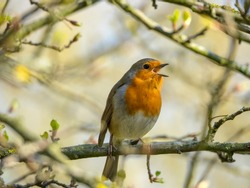 Singing Robin on a Branch