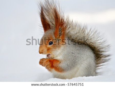 Singing the red squirrel in the snow.