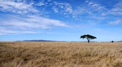 Single acacia tree landscape in the savannah of the Serengeti reserve