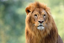 Single adult male Lion in zoological garden