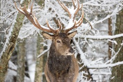 Single Adult Noble Deer With Big Beautiful Horns On Snowy Field At Forest Background. Christmas Wildlife Landscape With Snow And Deer With Big Antlers.Great Lonely Stag.Desired Trophy For Hunters
