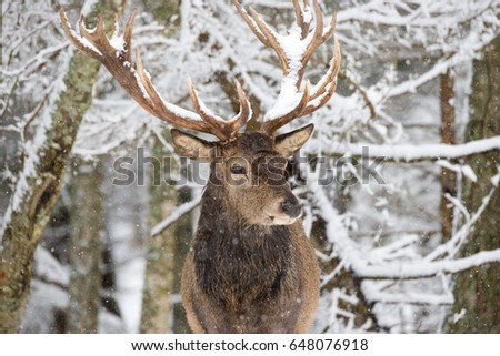 Single Adult Noble Deer With Big Beautiful Horns On Snowy Field At Forest Background. Christmas Wildlife Landscape With Snow And Deer With Big Antlers.Great Lonely Stag.Desired Trophy For Hunters Stock photo ©
