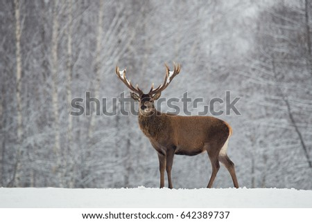 Single Adult Noble Red Deer With Big Beautiful Horns On Snowy Field At Forest Background. European Wildlife Landscape With Snow And Deer Stag With Big Antlers.Portrait Of Lonely Deer. Elk / Trophy Elk