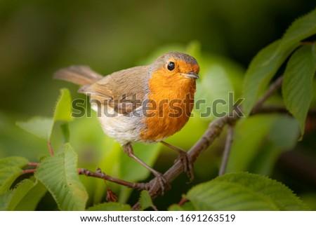 Single adult robin (erithacus rubecula) perched amid spring foliage Zdjęcia stock ©