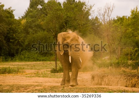 Single African elephant throwing sand