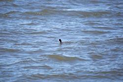Single American coot duck (Fulica americana) swimming in choppy water