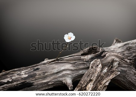 Shutterstock single apricot blossom and dead tree trunk