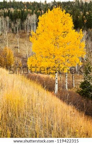 Single Aspen Tree in the Fall