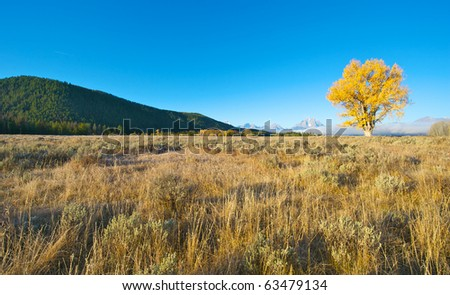 Single Aspen tree with golden leaves at Jackson Hole Wyoming with the Grand Tetons in the background.