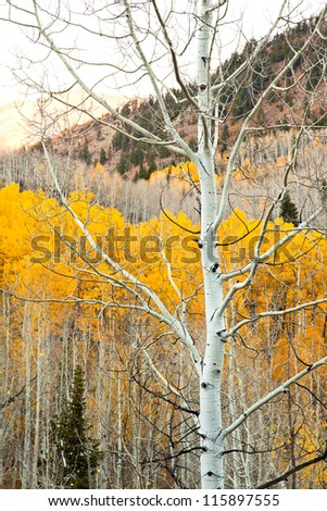 Single Aspen Tree with Yellow in the Background