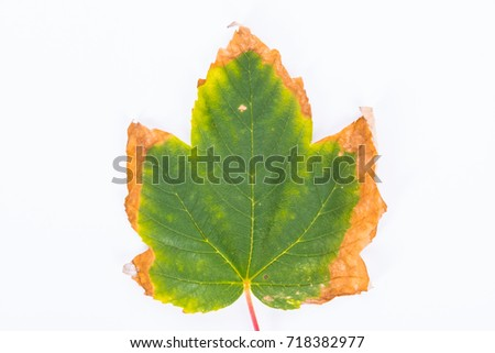 Single autumn withering maple leave isolated on white background - Shutterstock ID 718382977