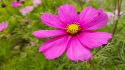 Single beautiful dark pink Cosmos flower with green background