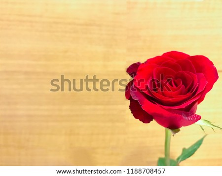 Single beautiful real red rose flower decorate is place on yellow wood background mean love elegant using for postcard valentine event or represent special greeting quote in important romantic day
