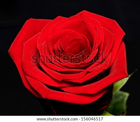 Single beautiful red or scarlet rose on a black background symbolic of love, Valentines Day and romance