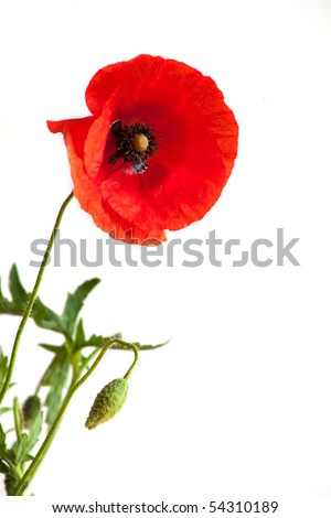 Single Beautiful Red poppy on white background