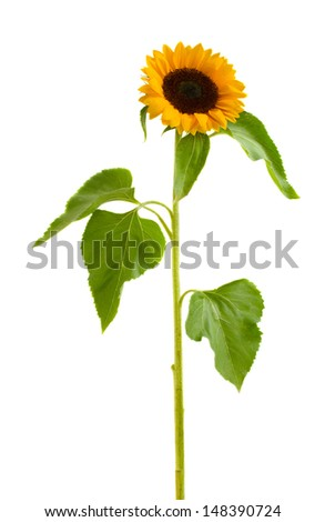 single  beautiful  sunflower  isolated on white background