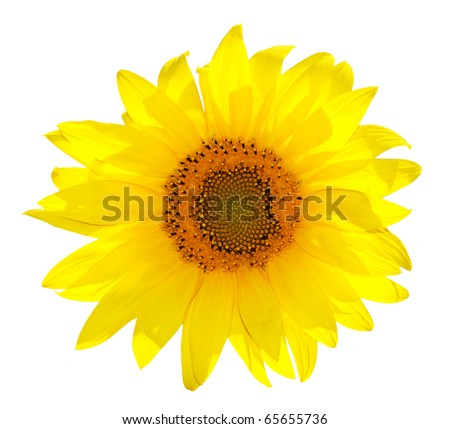 Single beautiful sunflower